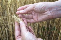 Żeńska ręka w żyta polu, rolnik egzamininuje rośliny, rolniczy pojęcie Zdjęcie Royalty Free