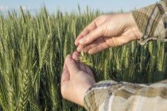 Żeńska ręka w jęczmienia polu, rolniczy pojęcie Fotografia Stock
