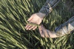Żeńska ręka w jęczmienia polu, rolniczy pojęcie Zdjęcie Royalty Free