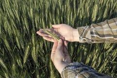 Żeńska ręka w jęczmienia polu, rolniczy pojęcie Obrazy Royalty Free