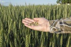 Żeńska ręka w jęczmienia polu, rolniczy pojęcie Fotografia Royalty Free