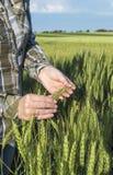 Żeńska ręka w jęczmienia polu, rolnik egzamininuje rośliny, rolniczy pojęcie Obrazy Stock