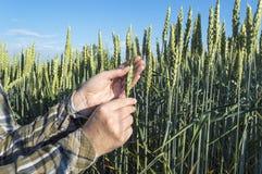 Żeńska ręka w jęczmienia polu, rolnik egzamininuje rośliny, rolniczy pojęcie Zdjęcie Royalty Free
