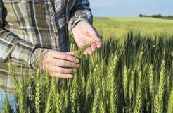 Żeńska ręka w jęczmienia polu, rolnik egzamininuje rośliny, rolniczy pojęcie Obraz Stock