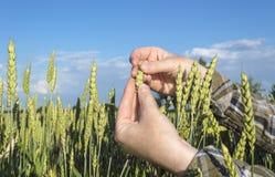 Żeńska ręka w pszenicznym polu, rolniczy pojęcie Obraz Stock