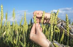 Żeńska ręka w pszenicznym polu, rolniczy pojęcie Obrazy Stock