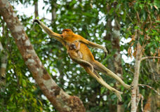 Żeńska trąbiasta małpa z dzieckiem doskakiwanie od drzewa drzewo w dżungli Indonezja Wyspa Borneo Kalimantan fotografia stock