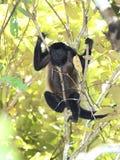 Żeńska wyjec małpa odpoczywa w drzewie, corcovado park narodowy, c Obraz Stock