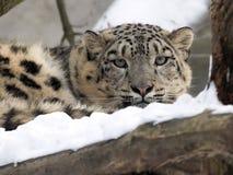 Żeński śnieżnego lamparta Uncia uncia, ogląda śnieżnych otoczenia Zdjęcia Royalty Free