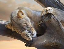 Żeński Afrykański lwa dosypianie w Nieżywym drzewie Fotografia Royalty Free