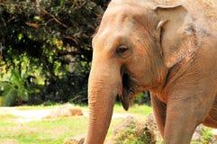 Żeński Azjatyckiego słonia ono uśmiecha się obrazy royalty free