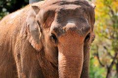 Żeński Azjatyckiego słonia portret obrazy stock