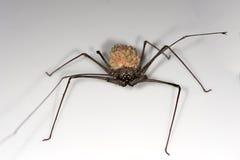 Żeński bata pająk Fotografia Stock