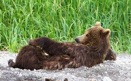 Żeński brown niedźwiedź Fotografia Royalty Free