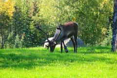 Żeński caribou pasanie Zdjęcia Stock