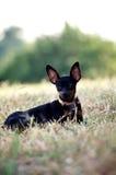 Żeński czarny miniaturowego pinscher psa lying on the beach na trawie obrazy stock