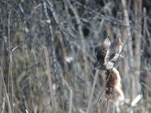 Żeński Czerwonoskrzydłego kosa dźwignięcie daleko Obraz Royalty Free