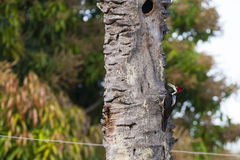 Żeński czubaty dzięcioł Wokalizuje na Nieżywym drzewie Obraz Stock