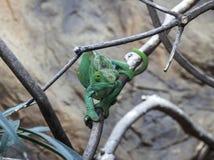 Żeński duchownego kameleon zdjęcia royalty free