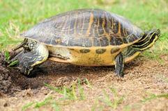 Żółwia nakrywkowy jajko Obrazy Royalty Free