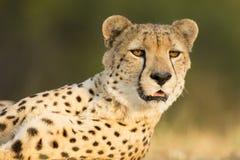 Żeński gepard Południowa Afryka (Acinonyx jubatus) Obraz Stock