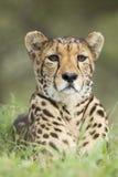 Żeński gepard Południowa Afryka (Acinonyx jubatus) Obraz Royalty Free
