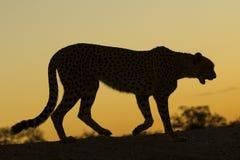 Żeński gepard Południowa Afryka (Acinonyx jubatus) Fotografia Stock
