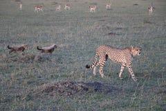 Żeński gepard z lisiątkami w dzikim maasai Mara Zdjęcie Stock