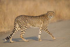 Żeński geparda odprowadzenie, Południowa Afryka Obrazy Stock
