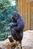 Żeński goryl zdjęcia stock