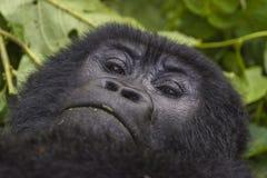 Żeński goryla portret Zdjęcia Stock