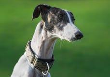 Żeński hiszpański charcica pies obraz royalty free