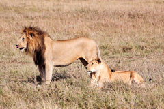 Żeński i męski lew Fotografia Stock