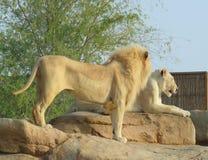 Żeński i męski lew Obrazy Royalty Free