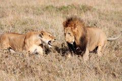 Żeński i męski lew Zdjęcie Stock