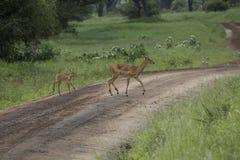 Żeński impala z młodym impala Tarangire park narodowy - Wildl Zdjęcia Royalty Free