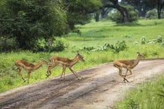 Żeński impala z młodym impala Tarangire park narodowy - Wildl Obraz Royalty Free