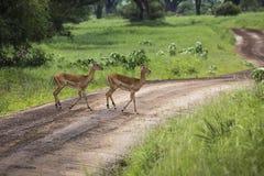 Żeński impala z młodym impala Tarangire park narodowy - Wildl Fotografia Royalty Free