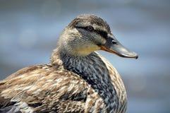 Żeński kaczki głowy zbliżenie Fotografia Stock
