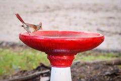 Żeński kardynał na czerwonym & białym ptaka skąpaniu Fotografia Royalty Free