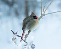 Żeński kardynał Umieszczający w zimie fotografia royalty free