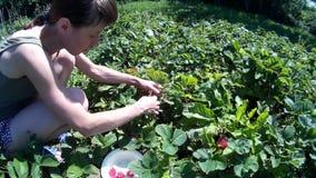 Żeński kobiety gromadzenie się podnosi up dojrzałej czerwonej truskawki i stawia w naczyniu zdjęcie wideo