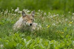 Żeński kojot Fotografia Stock
