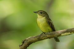Żeński koloru żółtego Flycatcher fotografia royalty free
