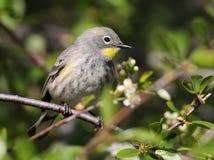 Żeński koloru żółtego Warbler Zdjęcie Royalty Free