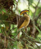 Żeński Królewski Flycatcher Onychorhynchus coronatus Fotografia Royalty Free
