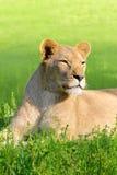 Żeński lew zdjęcia royalty free