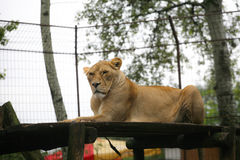 Żeński lew Obraz Royalty Free