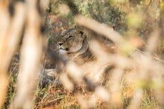 Żeński lew chuje w krzaku zdjęcia stock