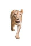Żeński lew odizolowywający zdjęcia royalty free